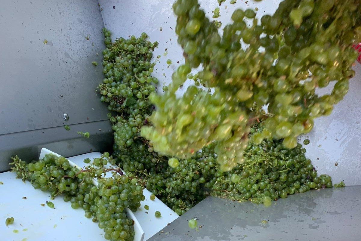 Grape Harvest 2019 image