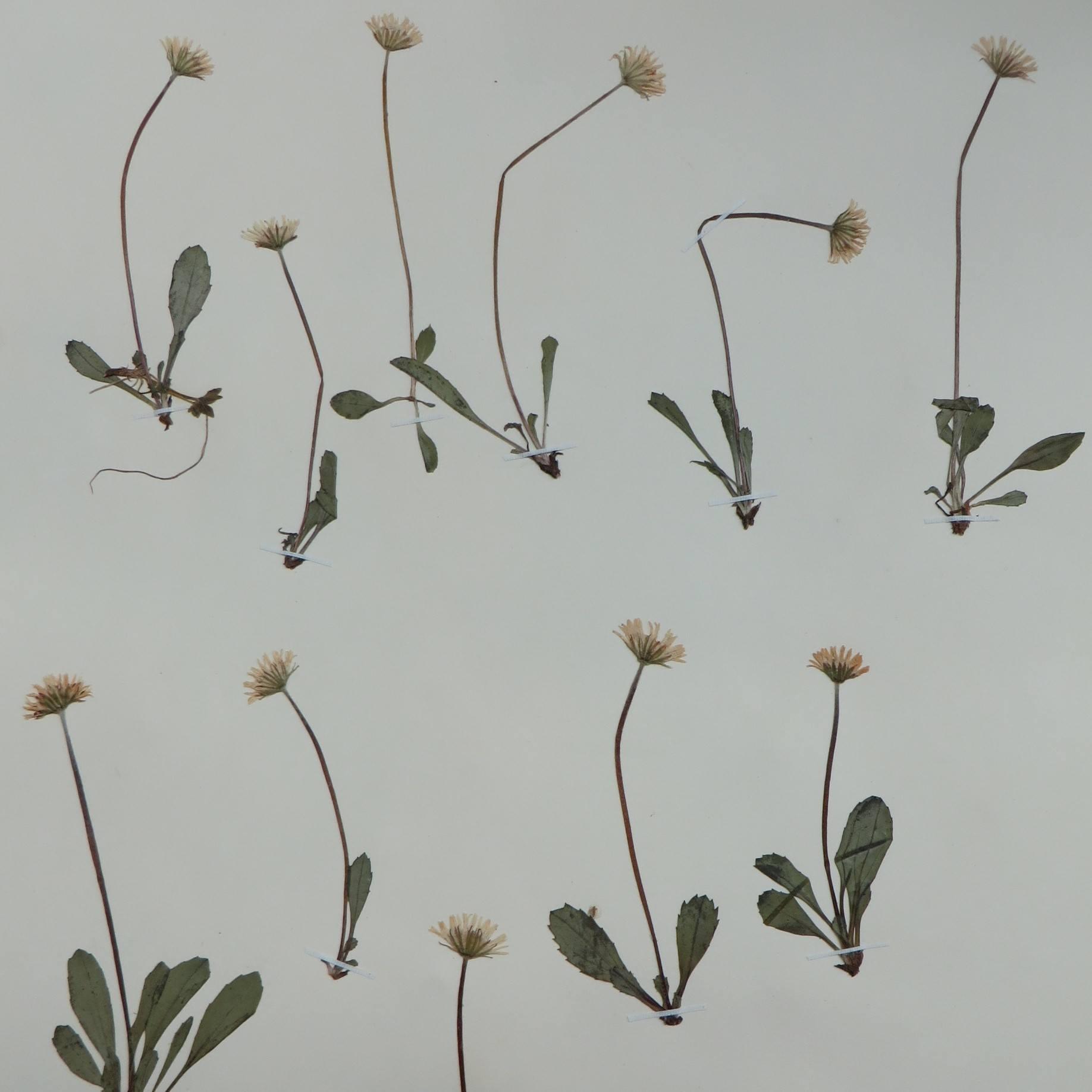 herbarium daisy sheet nhm