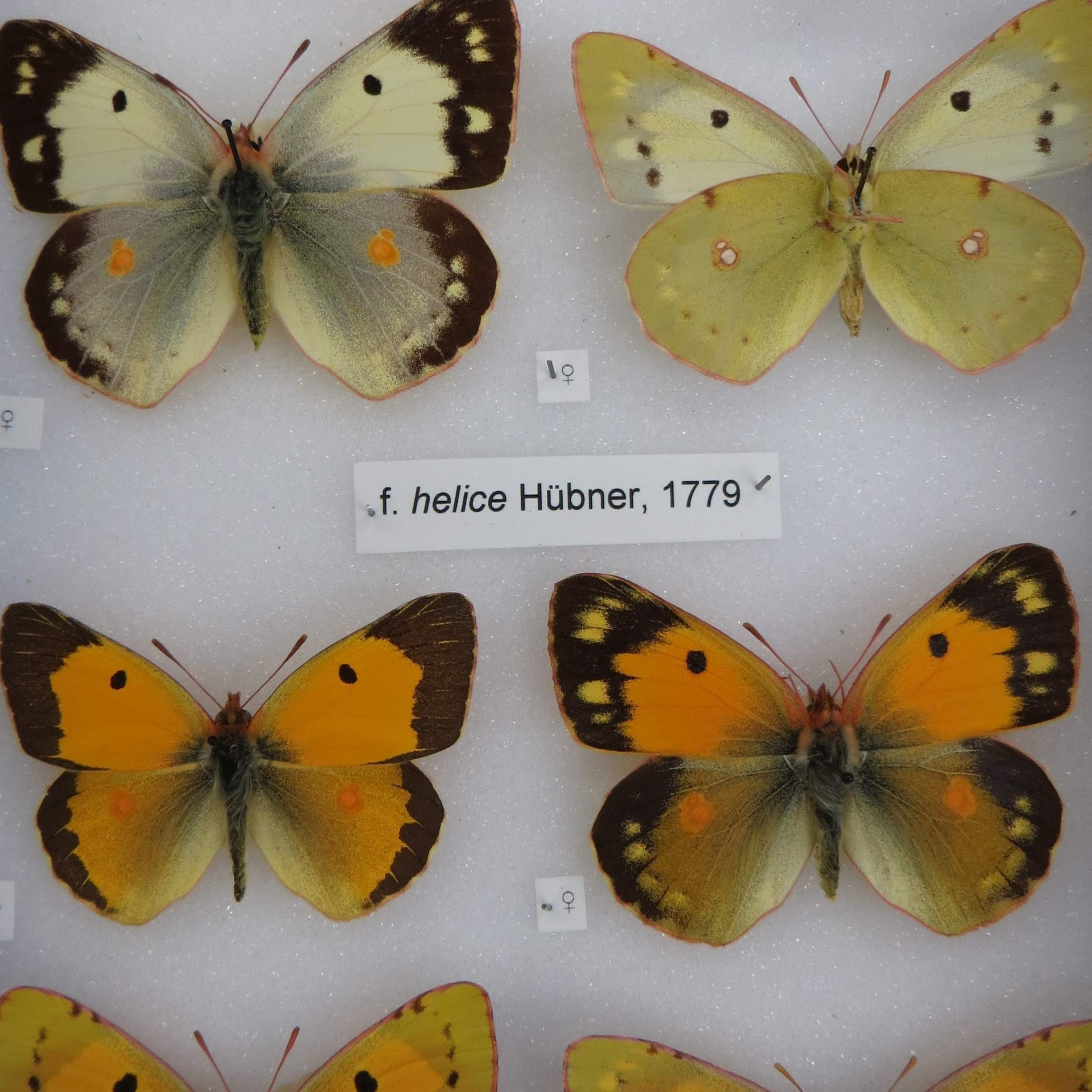 butterfly specimens at the natural history museum