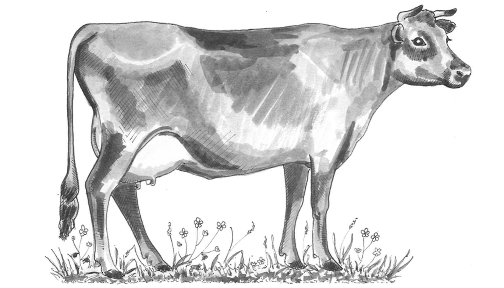 cow for dish 600dpi.jpg