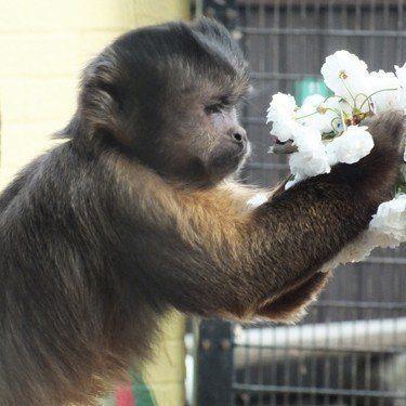 capuchin monkey at battersea park zoo