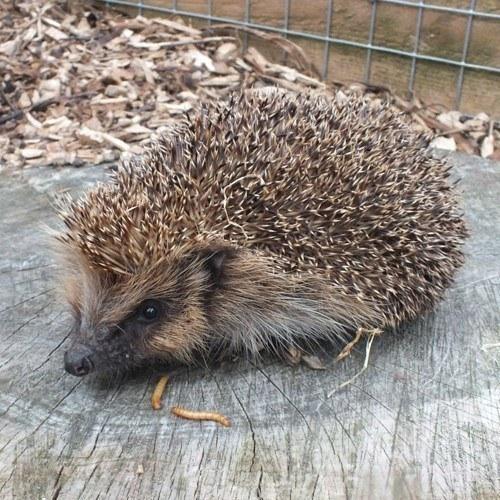 rescued hedgehog at battersea park zoo
