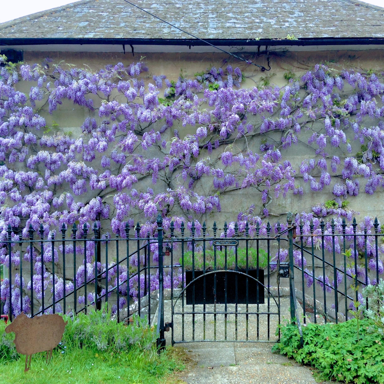 Wisteria wall Private Garden Dorset