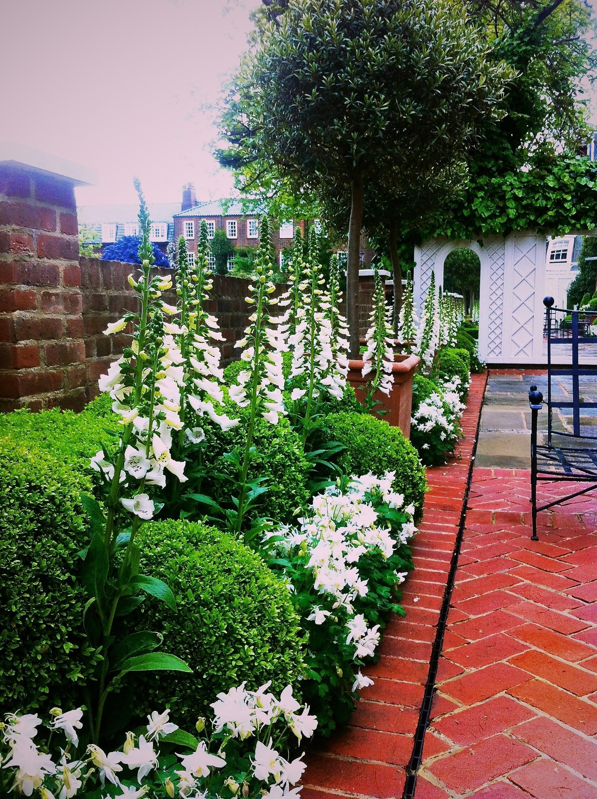 White Foxgloves in London Garden