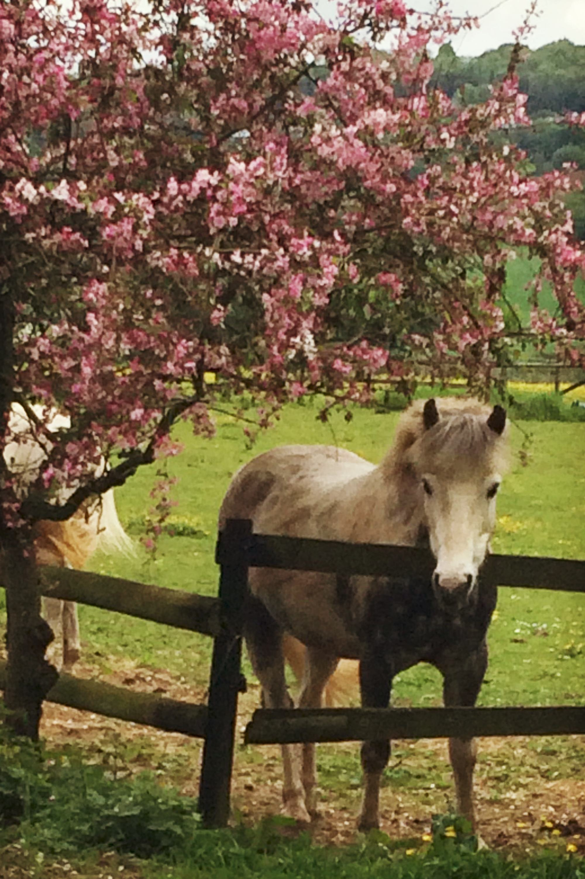 Pancake under The Blossom Tree