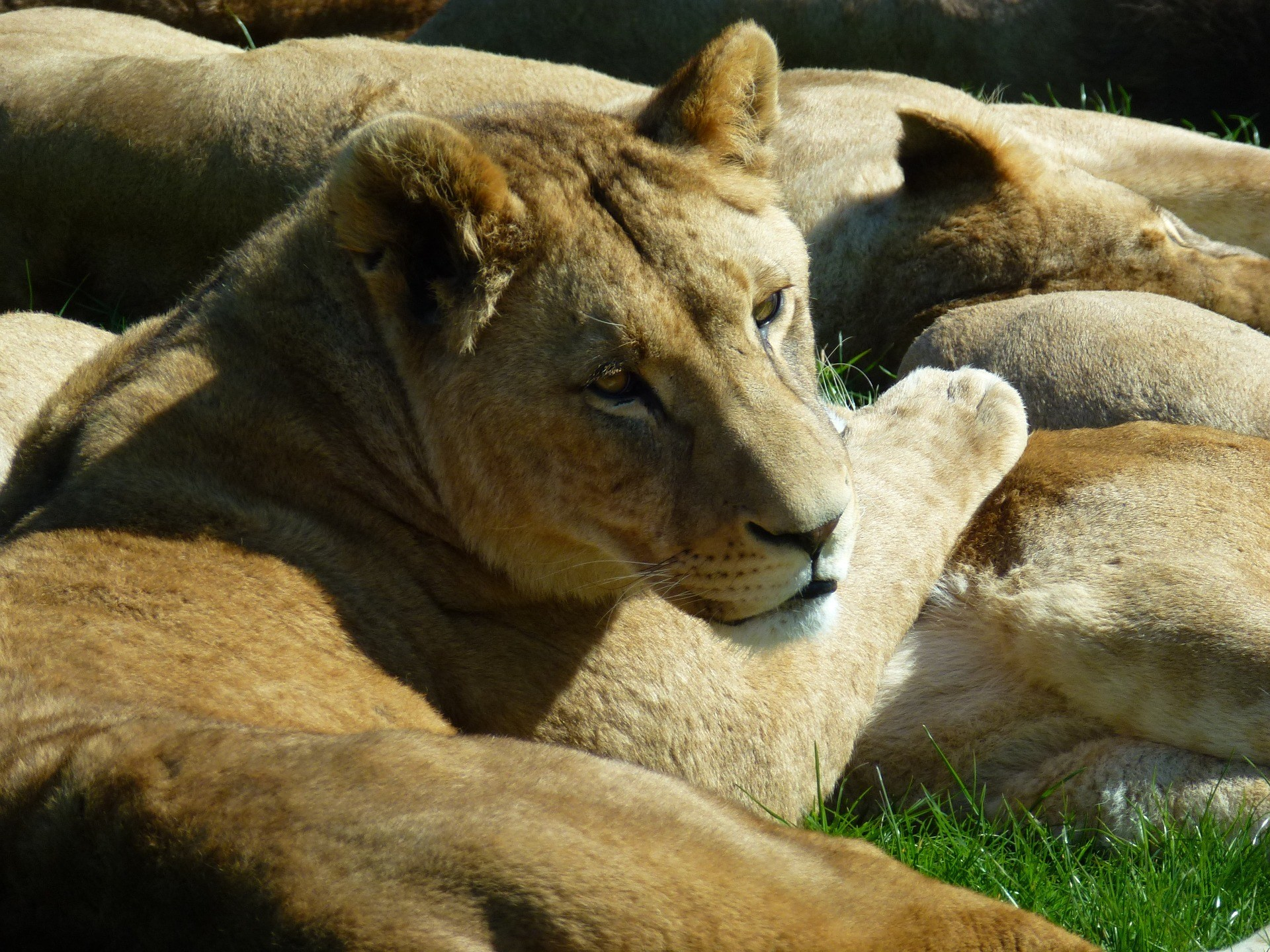 lioness-1703737_1920.jpg