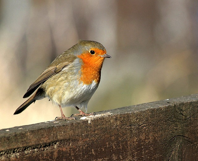 Blackbrook House robin