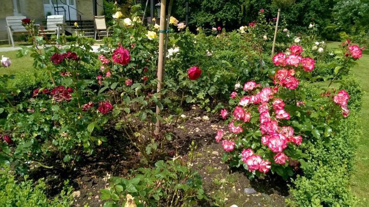 An abundance of roses at Blackbrook House