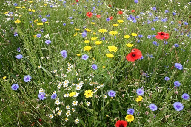 Wildflowers - a vision for part of Blackbrook House's garden
