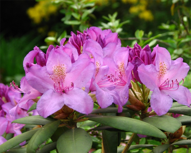 Rhododendrons in bloom at Blackbrook House