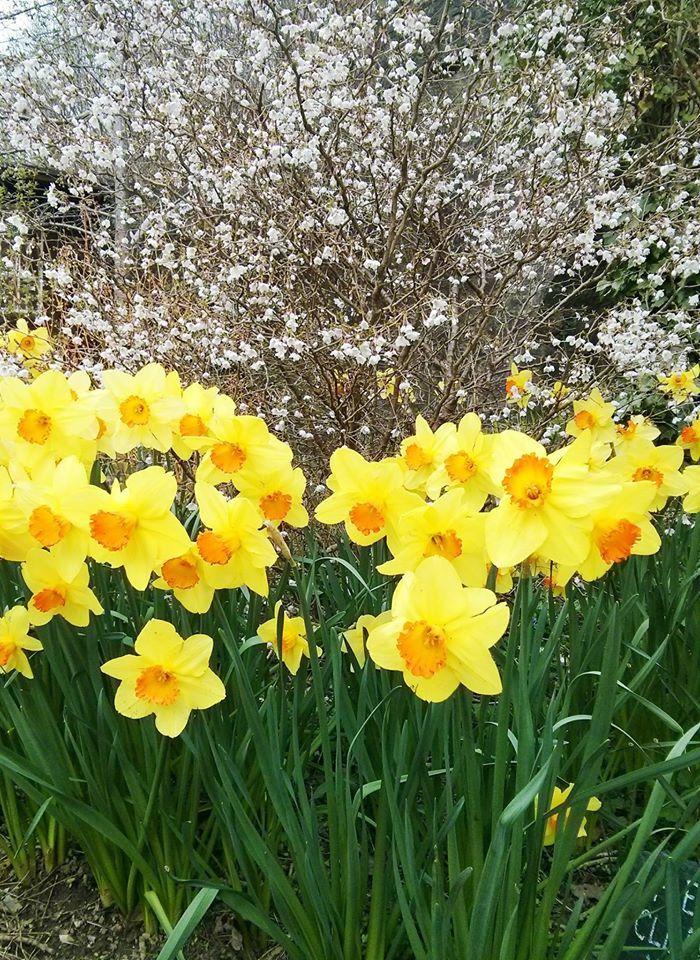 Daffodils and blossom at Blackbrook