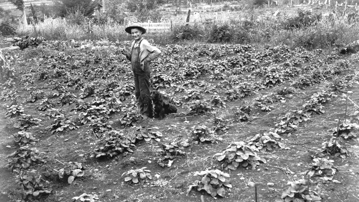 Man growing cabbages