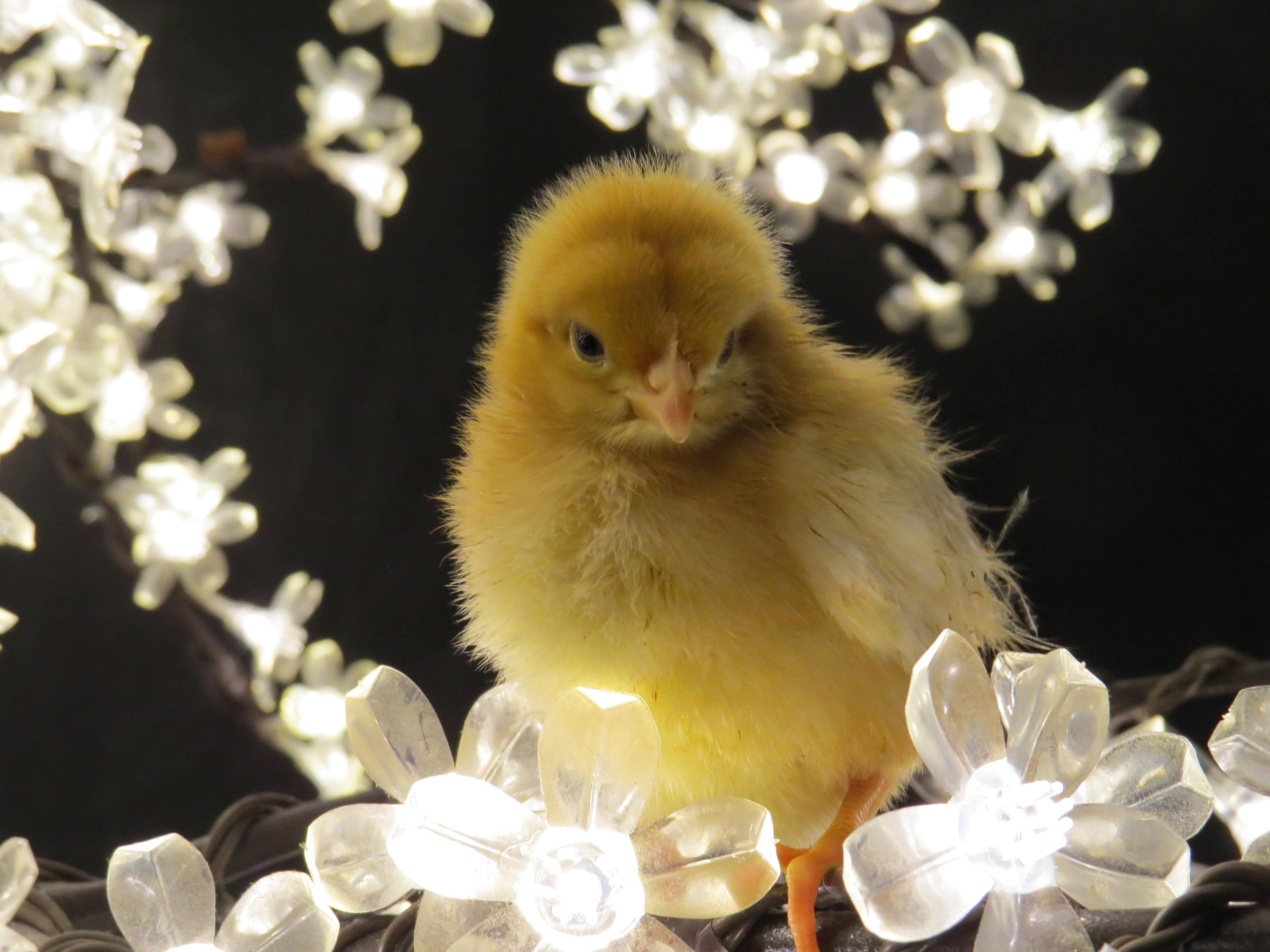 Chick in lights.JPG