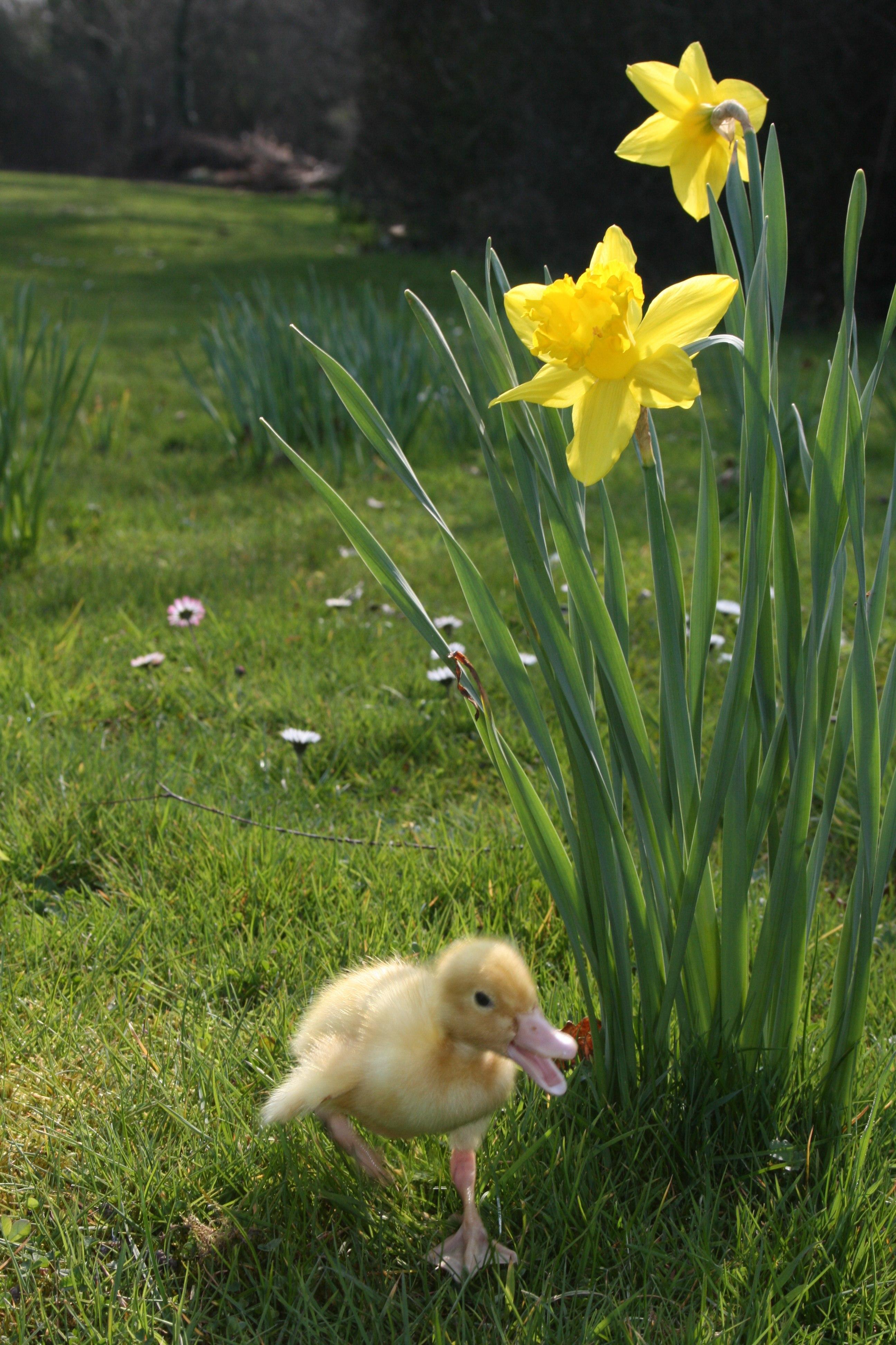 Easter duckling.jpg